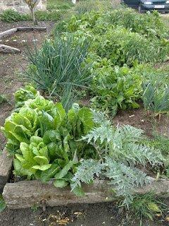 Acelgas de los semilleros para losbancales profundos