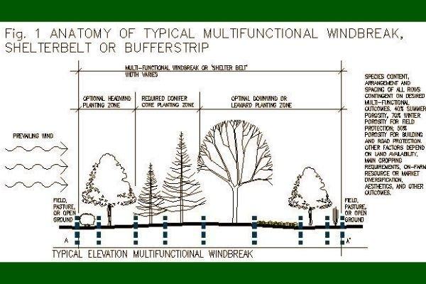 Cortaviento, Especies Forestales
