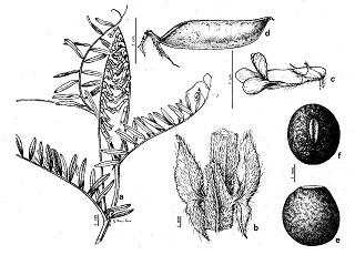 Son muchas las Plantas fijadoras de Nitrogeno, listado de ellas