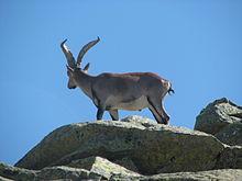 Fauna de la Sierra de Gredos