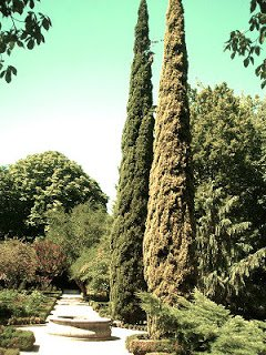Cipres - Arboles frutales para un bosque de alimentos