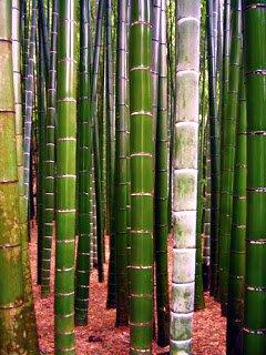 Bambú Gigante - Arboles frutales para un bosque de alimentos