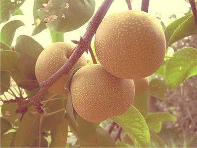 Nashi - Arboles frutales para un bosque de alimentos