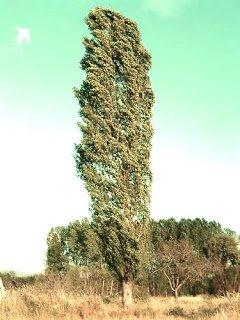 Chopo - Arboles frutales para un bosque de alimentos