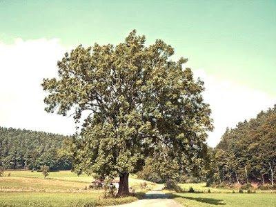 Fresno - Arboles frutales para un bosque de alimentos
