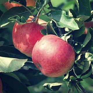 Manzano - Arboles frutales para un bosque de alimentos