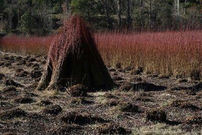 Mimbre - Arboles frutales para un bosque de alimentos
