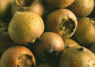 Nispero - Arboles frutales para un bosque de alimentos