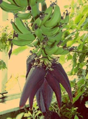 Platano - Arboles frutales para un bosque de alimentos