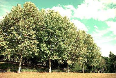 Platano a la Sombra - Arboles frutales para un bosque de alimentos