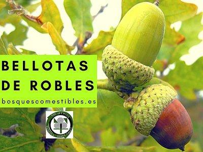 Bellotas de Roble como sembrar en casa y cuando se recogen