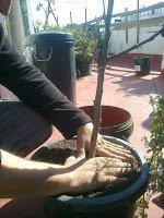 Separamos las raíces del contenedor e introducimos la higuera