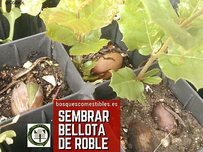 Sembrar Bellotas de Roble