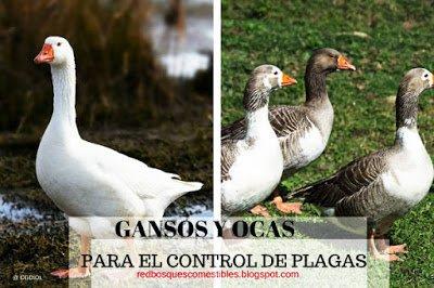 Control de Plagas con Gansos y Ocas | Bosques Comestibles