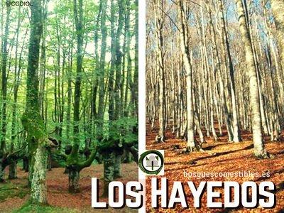 Los Hayedos, Bosques Atlánticos
