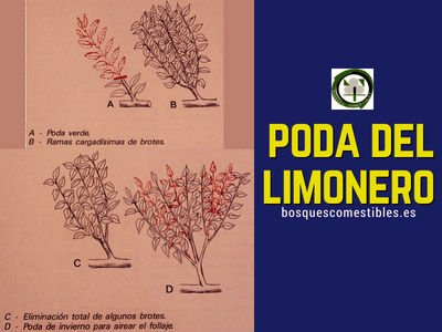 Poda del árbol Limonero