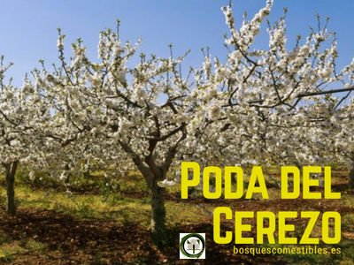 Poda del Cerezo | BOSQUES COMESTIBLES