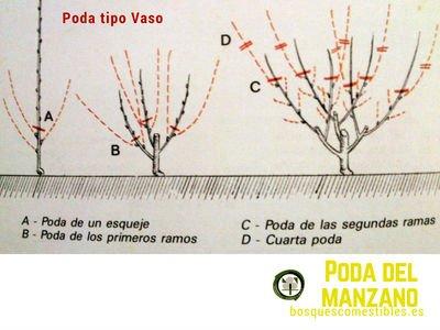 Poda en Manzanos Tipo Vaso