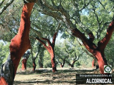 Alcornocal, Bosque de alcornoques