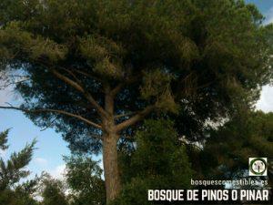 Bosque de Pinos o Pinar