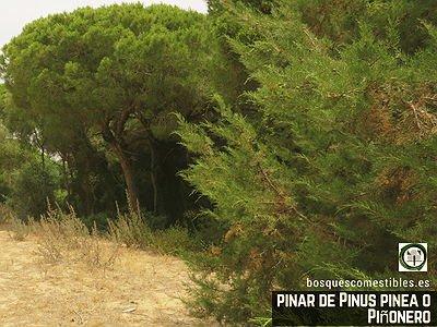 Pinar de Pinus pinea o Bosque de Pinos