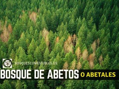 Bosque de Abetos o Abetal | TIPOS DE BOSQUES