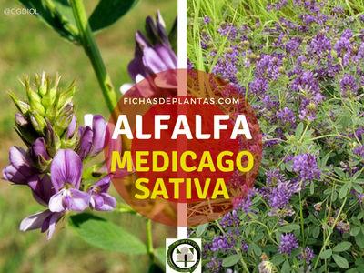 Alfalfa Planta Fijadora Nitrógeno