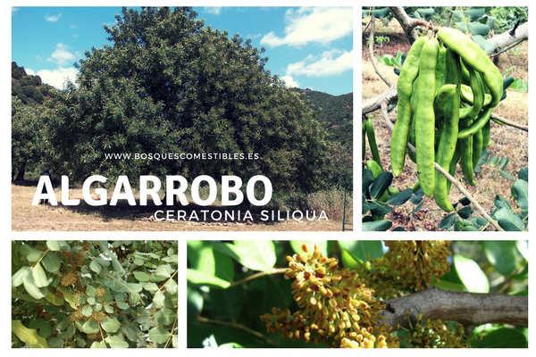 Algarrobo Árbol Fijador de Nitrógeno