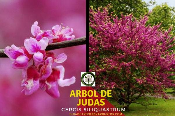 Árbol de Judas Árbol fijador de Nitrógeno