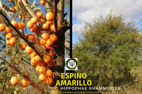 Espino Amarillo Árbol fijador de Nitrógeno