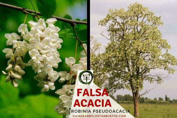 Falsa Acacia Árbol fijador de Nitrógeno
