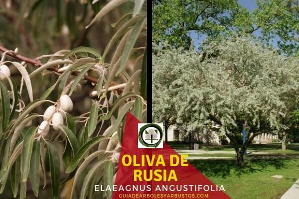 Oliva de Rusia, Árbol fijador de Nitrógeno
