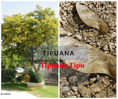 Tipuana, árbol fijador de Nitrógeno