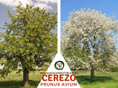 Dona un Árbol de Cerezo