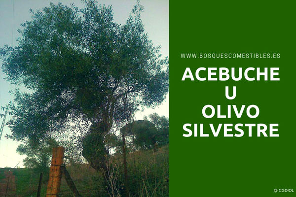 Dona un Árbol de Acebuche