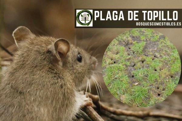 Plaga de Topillo Campesino