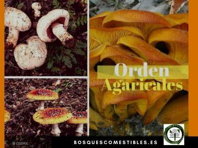 Setas Hongos Agaricales Bosque Mediterráneo