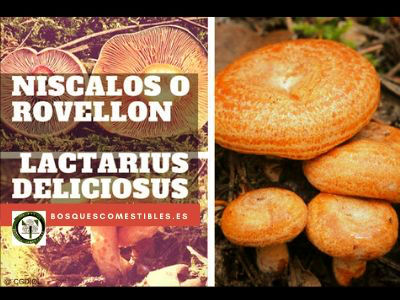 Niscalos, Lactarius deliciosus